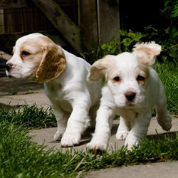 Gundog Puppies