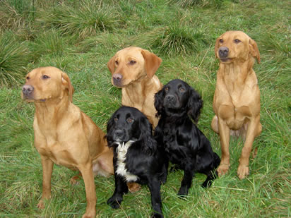 Gundogs sitting to attention