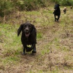 Cocker Spaniel running towards camera