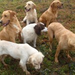 Group of gundogs