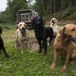 Gundogs and pickup truck