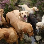 Gundogs in moorland stream