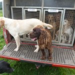 Gundogs on pickup truck