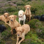 Gundogs waiting on heather moorland