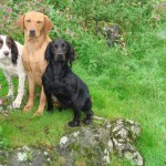 Gundogs waiting patiently