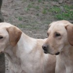 Pair of Yellow Labradors