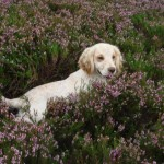 Spaniel in flowering heather