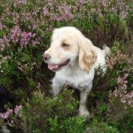 Spaniel in heather