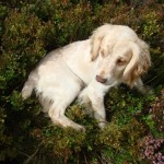 Spaniel puppy in heather