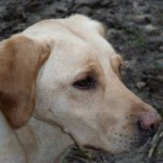 Yellow Labrador gundog headshot