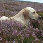 Yellow labrador in heather