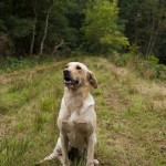 Yellow labrador sitting