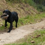 black labrador with fetching grouse